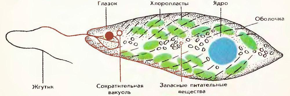 Строение Эвглены зеленой
