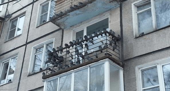 Как избавиться от голубей на балконе?