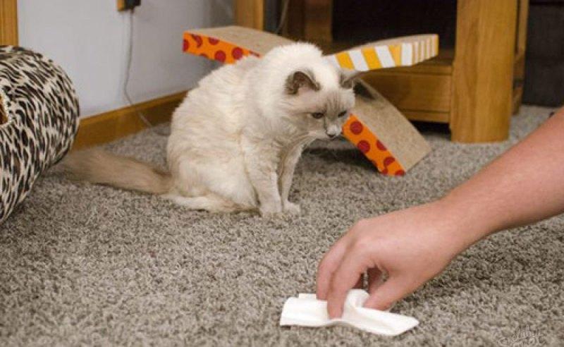 Как вывести запах кошачьей мочи с ковра в домашних условиях?