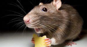 Как избавиться от крыс в частном доме навсегда народными средствами?
