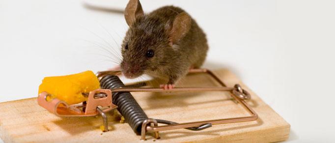 Как избавиться от мышей в квартире и в частном доме навсегда?