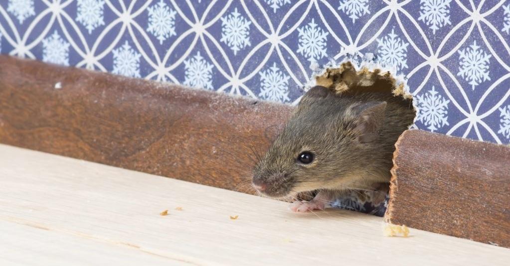 Как понять, что в доме завелись крысы?