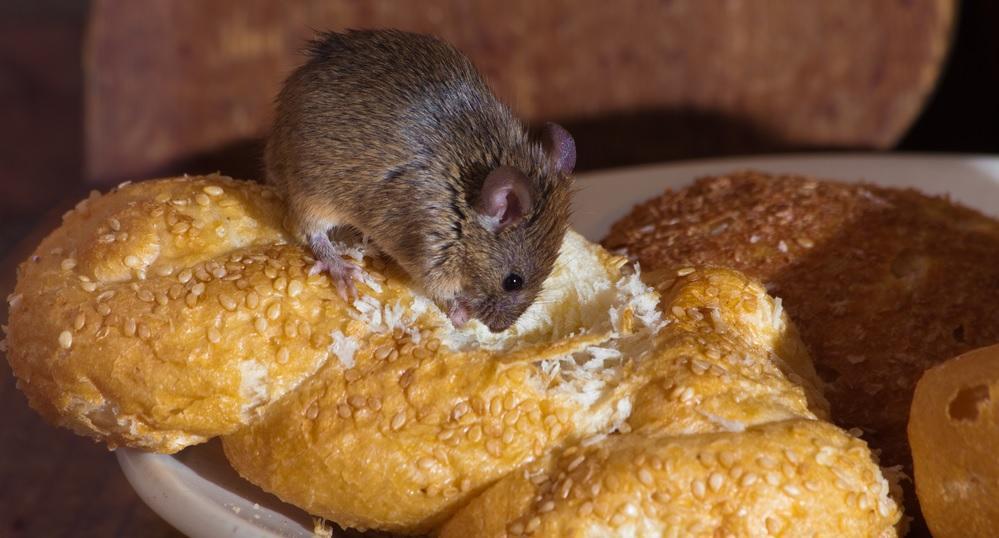 Опасны ли мыши для человека?