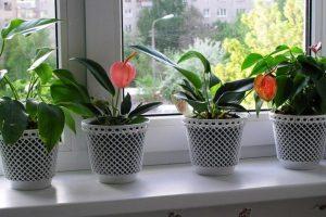 Цветок антуриум: уход и пересадка в домашних условиях