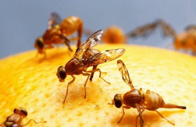 Фруктовая муха